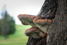 Polypore Mushroom On A Tree
