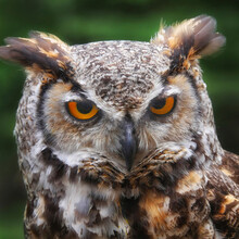 Close-up Of Great Horned Owl W...