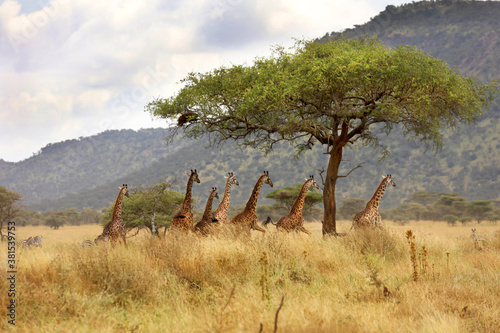 Giraffes walking under a tree in the Serengeti in Tanzania, Africa.