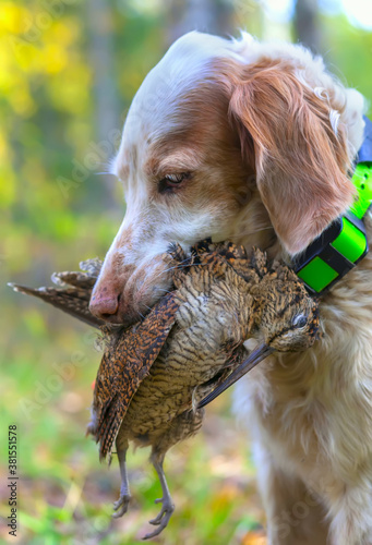Fototapeta Hunting for a woodcock with the English setter