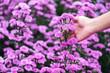 Leinwandbild Motiv Closeup image of a hand touching on beautiful Margaret flower in the field