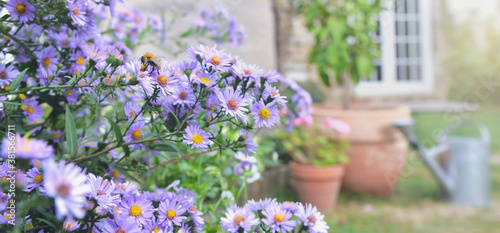 Obraz bush of aster flowers blooming  in the garden of a rural house - fototapety do salonu