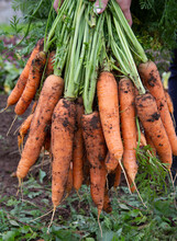 A Bunch Of Fresh Or Freshly Picked Carrots Full Of Vitamins. Organic Farming. The Concept Of A Healthy Lifestyle.