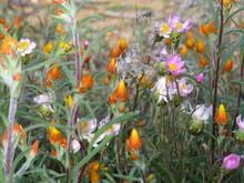 Everlastings And Immortelle Wildflowers In Australia