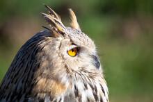 Sibrian Eagle Owl Nocturnal Bi...