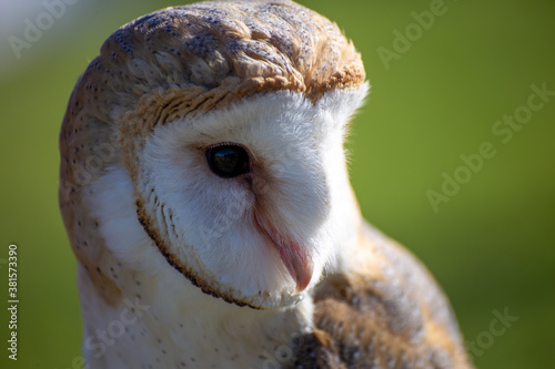 Cuadros en Lienzo barn owl nocturnal bird of prey