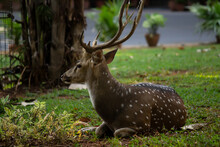 Spotted Deer Lying On The Lawn...