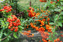Red Berries Of The Hawthorn