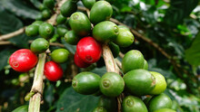 Coffee Beans Ripening On A Tre...