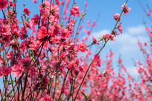 Peach Flowers In The Garden In...