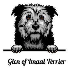 Head Glen Of Imaal Terrier - Dog Breed. Color Image Of A Dogs Head Isolated On A White Background