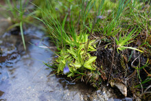 Carnivorous Plant Pinguicula Vulgaris In Wild Nature