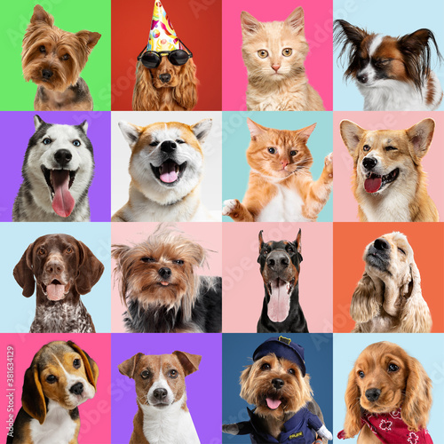 Fototapety, obrazy: Stylish adorable dogs and cats posing. Cute pets happy. The different purebred puppies and cats. Art collage isolated on multicolored studio background. Front view, modern design. Various breeds.