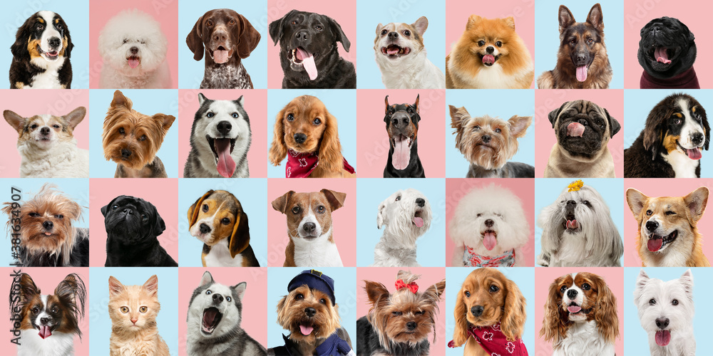 Fototapeta Stylish adorable dogs and cats posing. Cute pets happy. The various purebred puppies and cats. Art collage isolated on multicolored studio background. Front view, modern design. Different breeds.