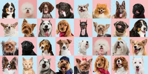 Fototapety, obrazy: Stylish adorable dogs and cats posing. Cute pets happy. The various purebred puppies and cats. Art collage isolated on multicolored studio background. Front view, modern design. Different breeds.