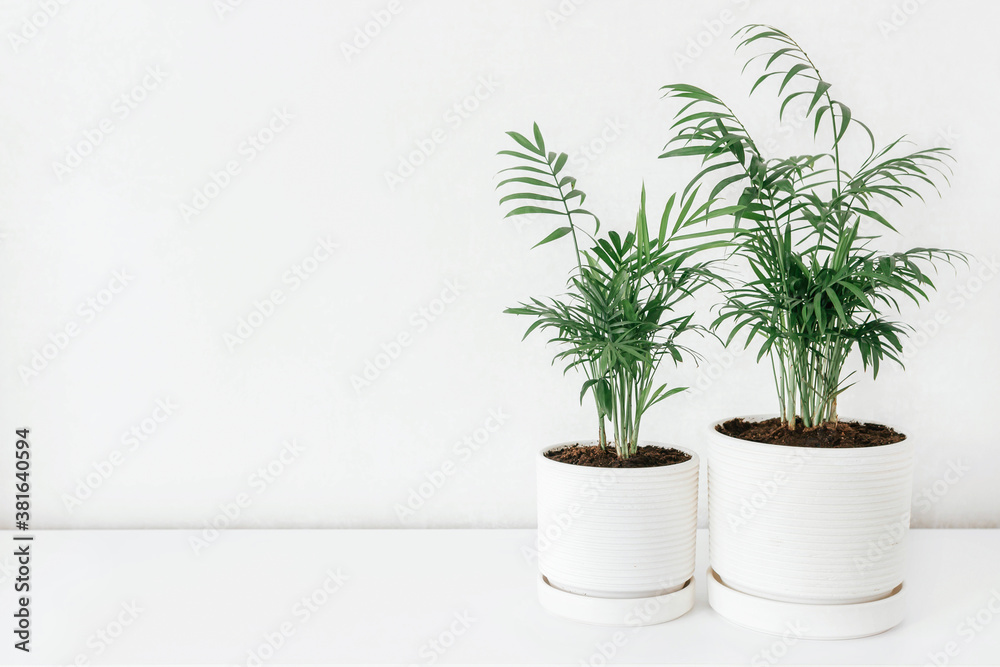 Fototapeta Two Chamaedorea in a white ceramic pots with the white wall for copy space. Modern houseplants. Minimal style.