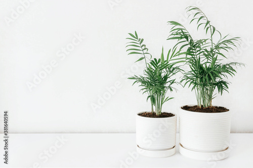 Stampa su Tela Two Chamaedorea in a white ceramic pots with the white wall for copy space