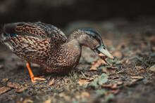 Female Mallard Duck Anas Platy...