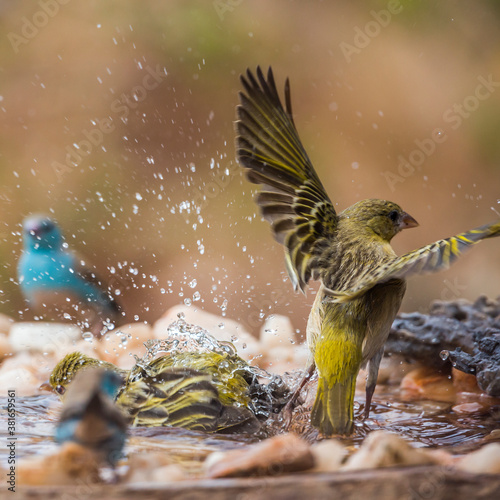 Canvas Village weaver and blue breasted cordonbleu bathing in waterhole in Kruger Natio