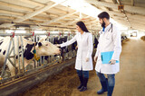 Two young livestock veterinarians in white coats checking on cows in dairy farm barn