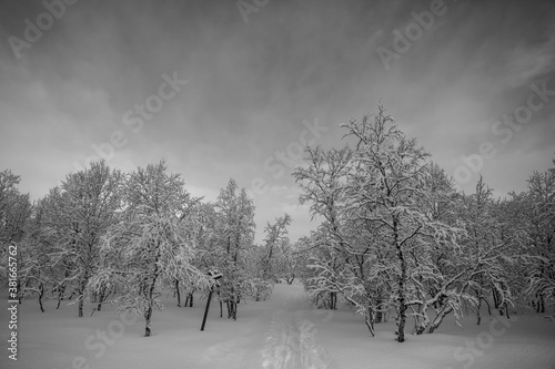 Fototapety, obrazy: Snow trees and forest in Nuorgam, Lapland, Finland