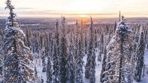 Fototapeta Aerial view from drone of snowy pines of endless coniferous forest trees in Lapland National park, bird's eye scenery  view of natural landmark in Riisitunturi on winter season at sunset golden light. obraz
