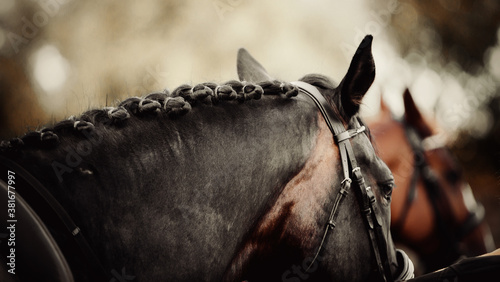 Pigtails on neck sports brown horse. Equestrian sport. Wallpaper Mural