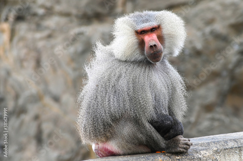 Hamadryas Baboon From Taif Canvas