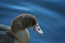 Egyptian Goose Portrait With Water Droplets