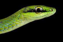 Emerald Snake (Hapsidophrys Sm...