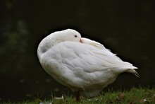 Side View On A Sleepy White Goose Against A Dark Background