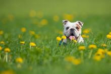Isolated Happy English Bulldog...
