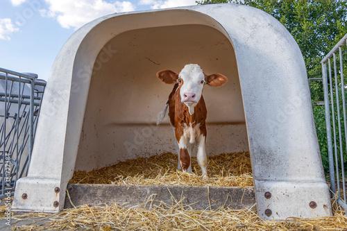 Timid lovely calf in a white plastic calf hutch, on straw at a farmyard Tapéta, Fotótapéta