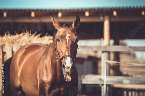 Obraz na plátne portrait of stunning gelding sport horse with white line on face with tongue out