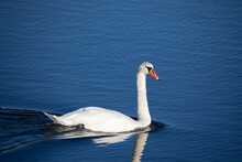 A Swan Swims In A Lake And Is ...