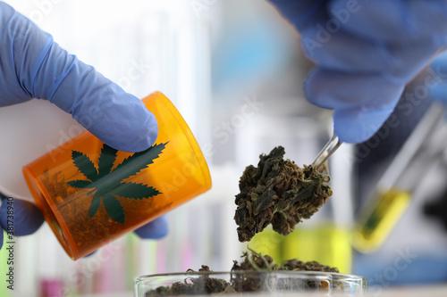 Obraz na plátně Drug dealer packs dried marijuana leaves into jar