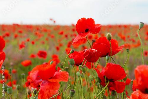 Fototapeta Blooming poppy field. Red poppy flower close up obraz na płótnie