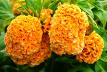 Cockscomb Flowers (celosia Cri...