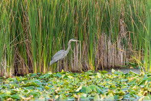 Great Blue Heron Standing By Lake With Aquatic Plants Looking For Fish