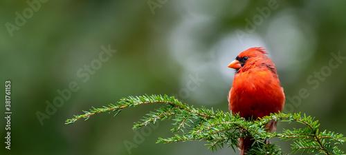 Leinwand Poster Cardinal on Pine Branch