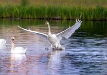 Mute Swan In A Bird Sanctuary ...