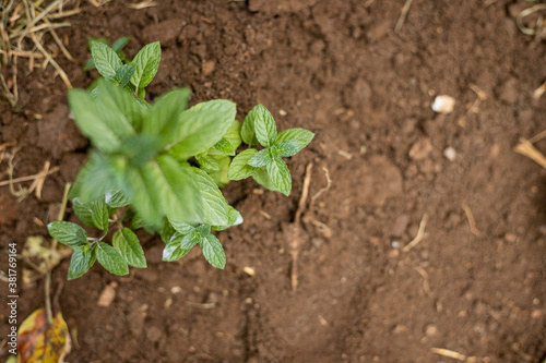 Freshly planted peppermint plant - working in the home garden - Agriculture and Billede på lærred
