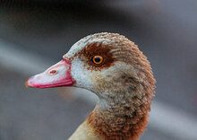 Egyptian Goose On The Moselle In The Town Of Wasserbillig On The Border Between Luxembourg And Germany
