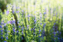 Many Beautiful Blooming Hyssop...