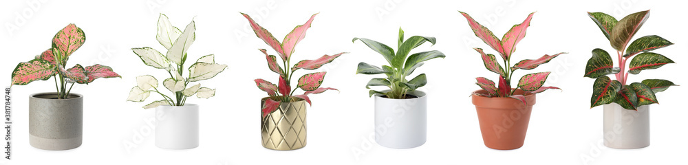 Fototapeta Set of Aglaonema plants for house on white background. Banner design