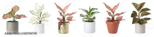 Set of Aglaonema plants for house on white background Fototapete