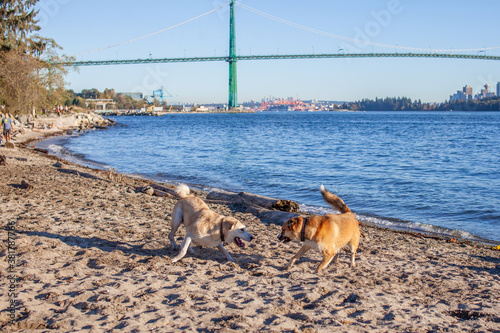 Платно Two Husky Shepard mix dogs play on the beach at Ambleside Park, West Vancouver,