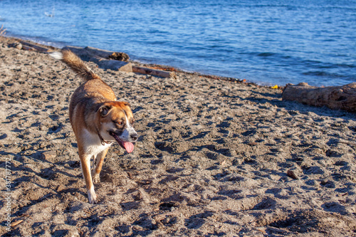фотография Dog playing off leash on the beach at Ambleside Dog Beach under the Lionsgate Br