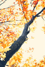 Tree Branch With Yellow Leaves In Autumn. Could Be Used As A Beautiful Stylized Fall Background Almost Abstract. Fall Season Is Rainy, But The Beautiful Red, Orange And Yellow Leaves Are Mood Lifters!