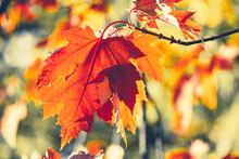 Red Maple Leaf In Autumn Close...